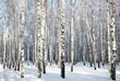 Winter birch wood in sunlight