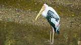 Video 1920x1080 - Yellow-billed stork in a puddle (Mycteria ibis