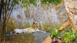 Video 1920x1080 - Tiger resting on a rock