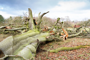 Storm damaged fallen tree