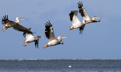 great pelicans in danube delta