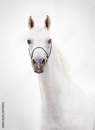 portrait of white beautiful arabian stallion © anakondasp