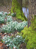 snowdrop flowers in the wood, selective focus