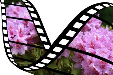 Bretagne Rhododendron  Floraison Reportage