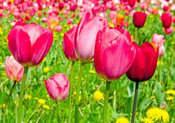 Frühling: Tulpenfeld mit Löwenzahn :)