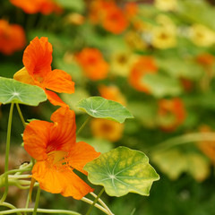 Bright orange nasturtium flowers and leaves in early summer