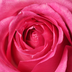 Pink Rose. Closeup