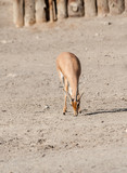 Dorcas Gazelle Eating