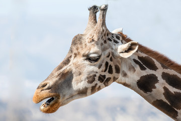 Close up of the Head of a Giraffe