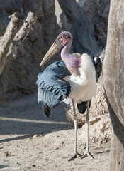 Close up of a Marabou Stork