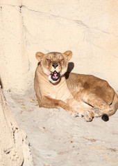 Female Lion Sunbathing