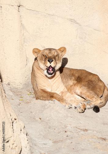 Female Lion Sunbathing