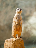 Meerkat on Guard Duty