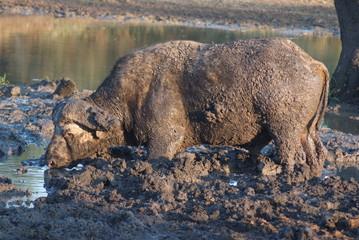 bufalo africano mammiffero ruminante erbivoro nel fango