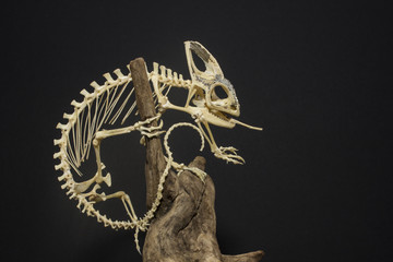 Chameleon Skeleton
