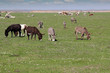 donkeys and cows on pasture