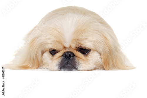 Face of a sad pekingese dog
