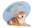shiba inu dog with an umbrella