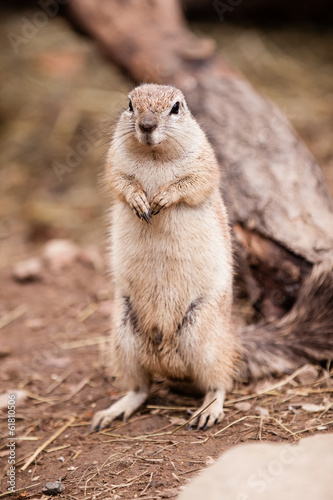 Cape Squirrel