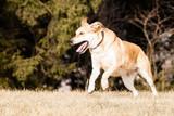Mutt of Labrador and German Shepherd poster