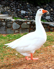 White Goose standing