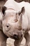 Rhinoceros portrait