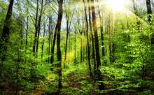 Wiosenne słońce w lesie bukowym