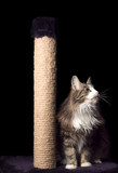 beautiful furry purebred kitten sit near scratching post