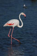 camargue francia  fenicottero rosa uccello acquatico