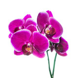 beautiful lilac orchid with bandlet is isolated on white backgro