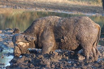 bufalo africano mammiffero ruminante nel fango
