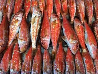Barbunya balıkları