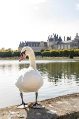 I cigni del giardino del castello di Fontainebleau