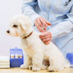 Veterinary treatment - vaccinating the Maltese dog