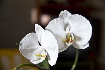 Orchidaceae - Orchid
