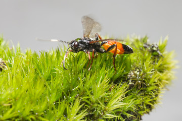 The Ichneumon Wasp (Coelichneumon viola)
