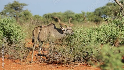 A kudu bull feeding on brush, Mokala National Park