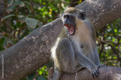 In de dag Aap Ferocious Green Vervet Monkey