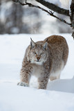 Lynx stalking in the forest