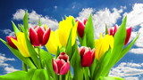 Colorful spring tulips blooming with blue sky background