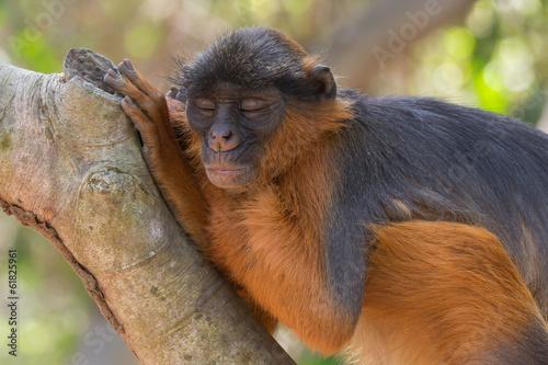 Foto op Canvas Aap Sleeping Western Red Colobus Monkey