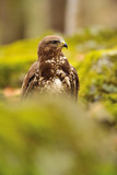 Common Buzzard in green nature