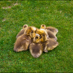 Pile of Goslings