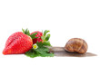 Garden Snail and Strawberry isolated