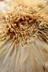 Particolare di in bulbo d'aglio