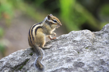 Beautiful wild chipmunk sits on a rock.