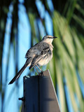 Puffed up Northern Mockingbird perched on a traffic sign.