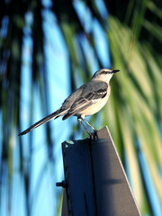 Northern Mockingbird perching on a traffic sign.
