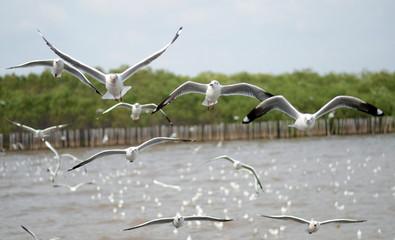 Beautiful Gull flying, Brown-headed Gull (Chroicocephalus brunni