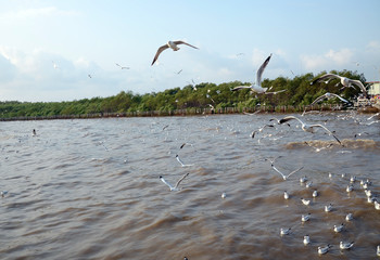 Seagull is a bird migration to Thailand